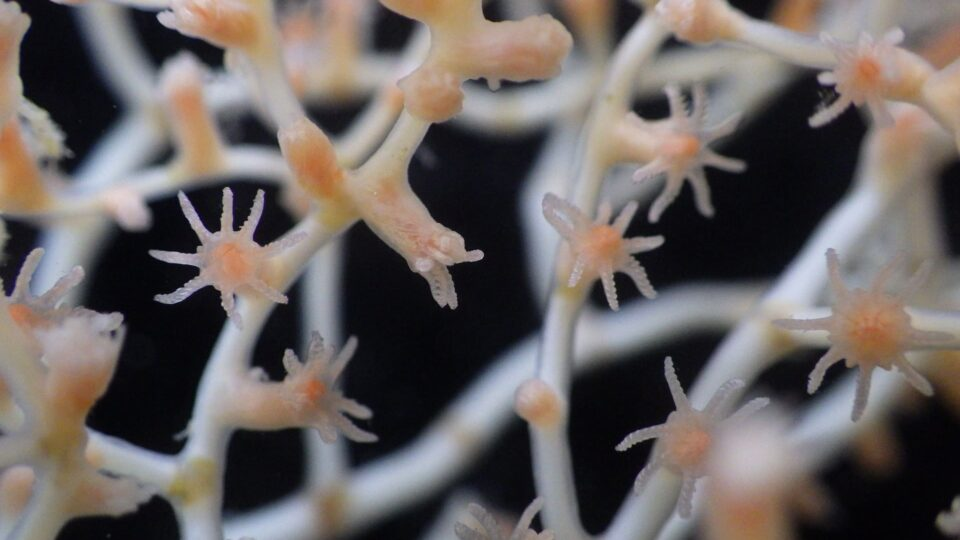 A close-up image of a bamboo coral called Acanella arbuscula taken from ...