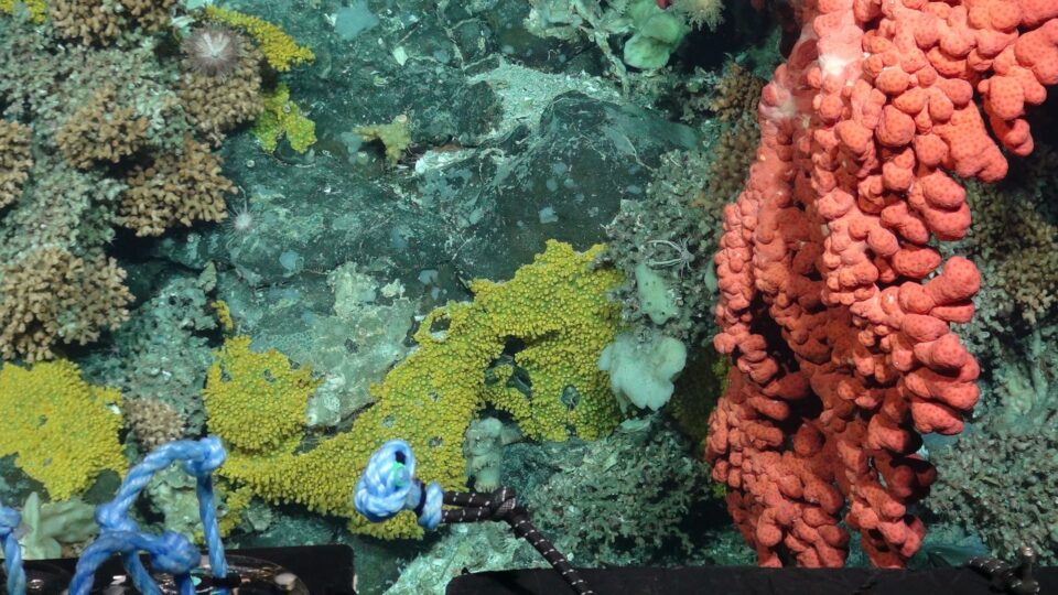 Bubblegum, stoney, soft corals and sponges photographed by a remotely op...